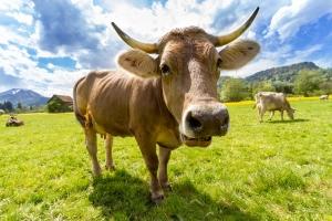 cow-759018_960_720