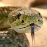 rattlesnake-653642_1920
