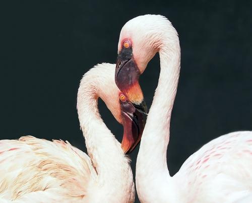 flamingo-1388341_960_720
